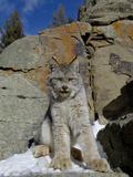 Canadian Lynx (Lynx Canadensis) on a Snowy Rock  USA