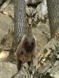 Isard or Pyrenean Chamois (Rupicapra Rupicapra Pyrenaica)  Pyrenees  France