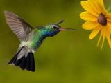 Broad-Billed Hummingbird (Cynanthus Latirostris) Male Feeding on a Sunflowers  Arizona  USA