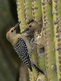Gila Woodpecker (Melanerpes Uropygialis) Pair at a Nest Hole in a Saguaro Cactus  Arizona  USA