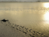 An Olive Ridley Sea Turtle Hatchling (Lepidochelys Olivacea) on its Way to the Sea Papier Photo par Solvin Zankl