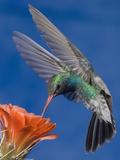 Broad-Billed Hummingbird Male (Cyanthus Latirostris) Nectaring at Claret Cup Cactus Flower