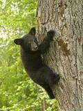 Black Bear (Ursus Americanus) Cub Climbing a Tree  North America