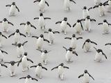 Rockhopper Penguins (Eudyptes Chrysocome) Crossing a Sandy Beach Between the Ocean