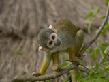 Bolivian Squirrel Monkey (Saimiri Boliviensis)  Captive