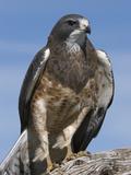 Swainson's Hawk (Buteo Swainsonii)  San Juan Mountains  New Mexico