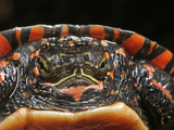 Eastern Painted Turtle Juvenile (Chrysemys Picta)