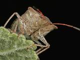 Stink Bug Head  Order Hemiptera  Family Pentatomidae  New Hampshire  USA
