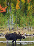 A Male Moose (Alces Alces) Drinking Water  Baxter State Park  Millinocket  Maine  USA