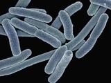 Escherichia Coli Bacteria (Commonly known as E Coli)