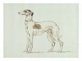 A Greyhound  Facing Left (Pen and Ink on Paper)