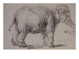 An Elephant  1637 (Charcoal on Paper)