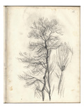Study of a Pine (Pencil on Paper)