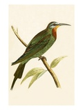 Blue Cheeked Bee Eater   from 'A History of the Birds of Europe Not Observed in the British Isles'