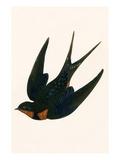 Oriental Chimney Swallow