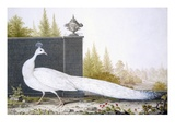 A White Peahen (Coloured Engraving)