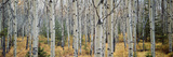 Aspen Trees in a Forest  Alberta  Canada