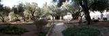 Probable Site of the Garden of Gethsemane  Mount of Olives  All Nations Church  Israel  Jerusalem