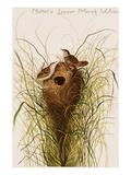 Nuttal's Lesser Marsh Wren