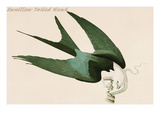 Swalllow Tailed Hawk