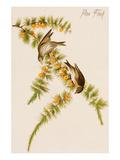 Pine Finch