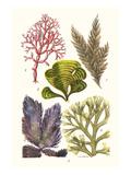 Seaweeds - Peacock's Tail