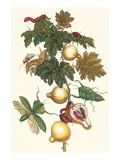 Nipple Fruit with a Leaf Mantus