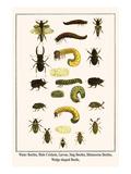Water Beetles  Mole Crickets  Larvae  Stag Beetles  Rhinoceras Beetles  Wedge Shaped Beetle