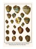 Giant African Snails  Tree Snail  Boinnet Shell  Gray Bonnets  Oblong Megasnails  Midas Ear  etc
