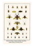 Beetles  Rove Beetles  Carabids  Cockchafers  Stag Beetles  Longhorn Beetles  Click Beetles  Weevel
