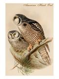 American Hawk Owl