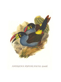 Grey Breasted Mountain Toucan