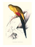 Black Tailed Parakeet(Male) - Polypelis Anthopeplus