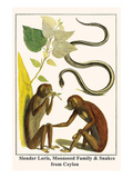 Slender Loris  Moonseed Family and Snakes from Ceylon