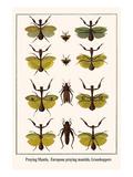 Praying Mantis  European Praying Mantids  Grasshoppers