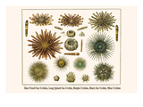 Slate Pencil Sea Urchins  Long Spined Sea Urchin  Hatpin Urchins  Black Sea Urchin  Mine Urchins