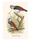Diamond Sparrow or White Headed Finch