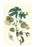 Contton Plant  Moths and Butterflies