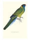 Bauer's Parakeet - Bauer Barnardius Donzarius