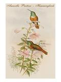 Amazilla Pristina - Hummingbirds