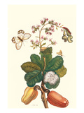 Moth on Cashew Apple