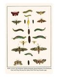 Moths  Coccoon  Lime Hawkmoth  Elephant Hawkmoth  Spurge Hawkmoth  Privet Hawkmoth  etc