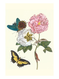 Cotton Rose Mallow with a Queen Swallowtail