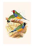 Gouldian Finch  Black Headed and Red Headed