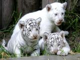 APTOPIX Argentina White Tigers Papier Photo par Eduardo Di Baia