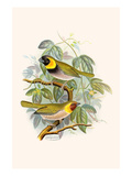 Melodius or Cuba Finch
