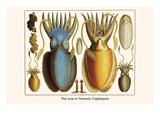 Ten Arm or Tentacle Cephlopods Reproduction d'art par Albertus Seba