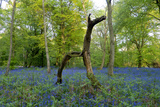 Bluebell wood with hopping tree