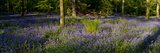 Bluebell wood scenic panorama