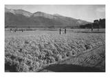 Guayule Field